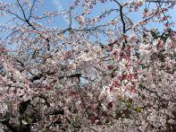 綿打池ボート乗り場付近の桜3