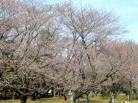 お花見広場の桜1