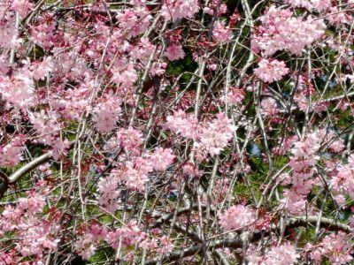 ふれあい広場付近の桜2