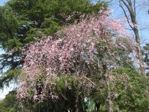 ふれあい広場付近の桜3