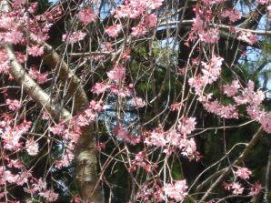 ふれあい広場付近の桜4