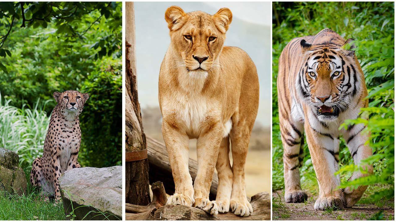 Most Dangerous Animals : tiger, lion, Cheetah attack