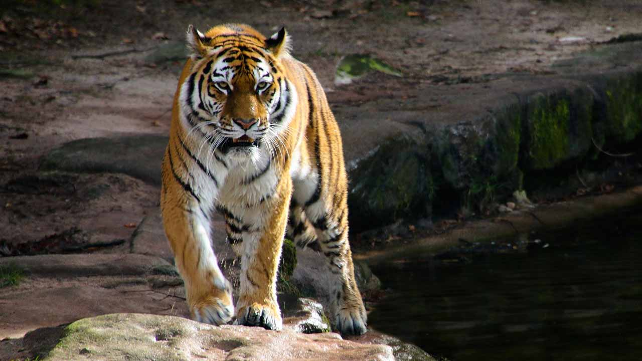 How to prevent tiger attack