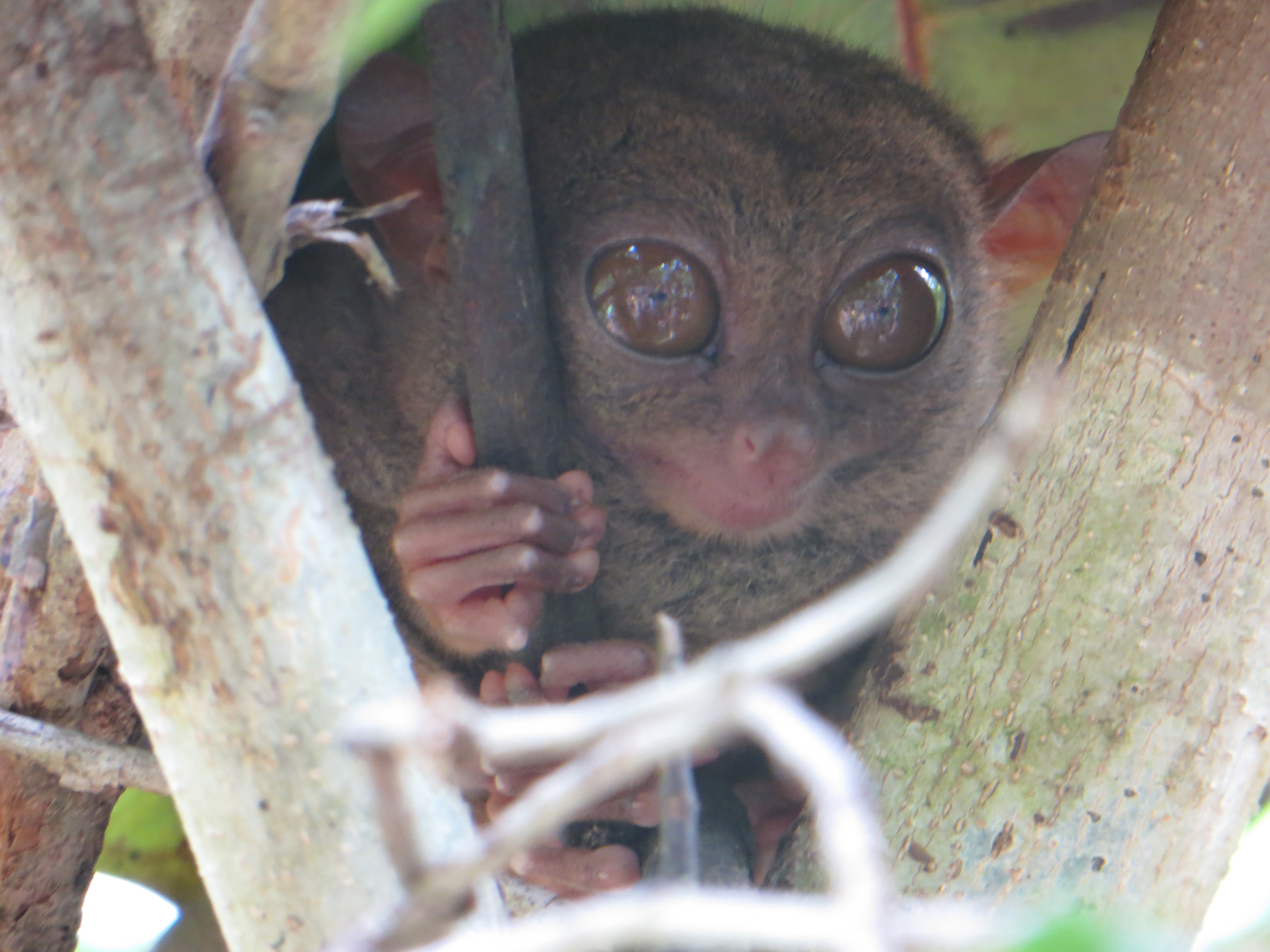 Tarsier - smallest monkey in the world