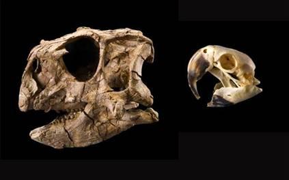 Dinosaur Skull Compared to Parrot Skull