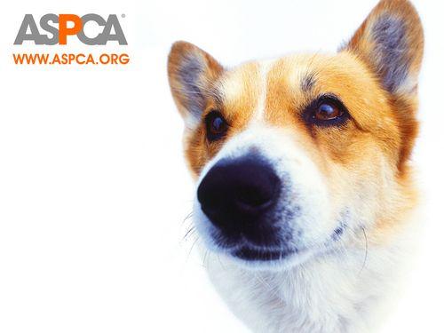 ASPCA Corgi