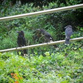 Pied Currowongs