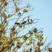 Australian Pied Cormorants