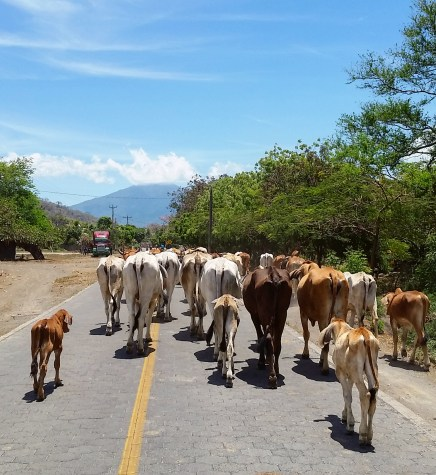 Your average Ometepe traffic jam