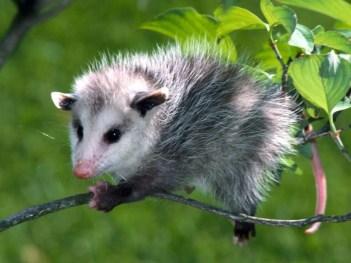 Opossum – Ontario Fur Managers Federation
