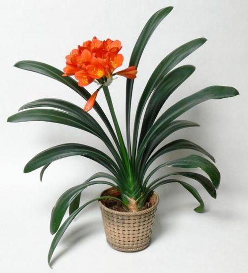 Цветущие комнатные растения неприхотливые: фото и названия ...