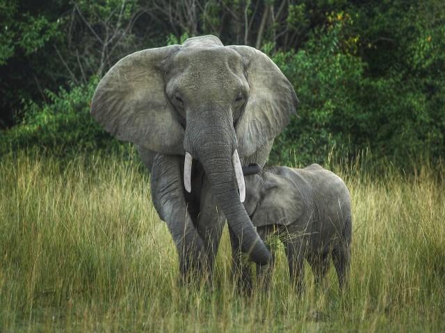 Elephant Mom