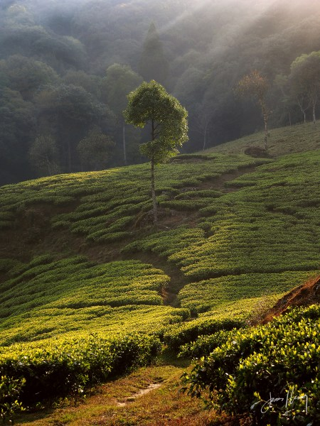 Morning in the Tea Fields
