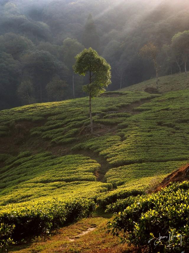 Morning in the Tea Fields