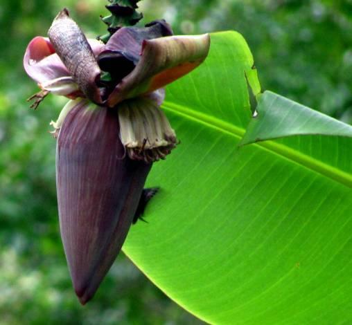 Colibrí verde Junín, Cundinamarca