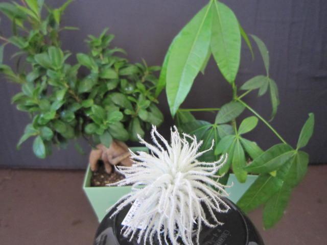 ガジュマル・パキラの育て方、特徴、観葉植物と仲良くなる方法の紹介