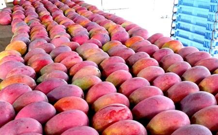 とろける甘さと芳醇な香り!完熟マンゴー1kg  イメージ