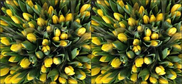 De gule tulipaner