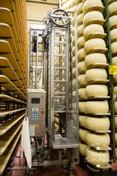 Wheels of Grana Padano PDO maturing and turned by robot