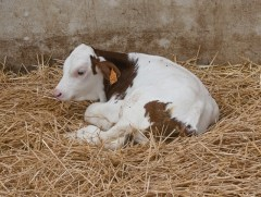 Montbéliarde calf. Most milk for Comte cheese comes from this breed.