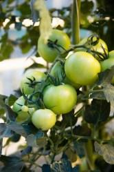 icelandic-tomatoes-32