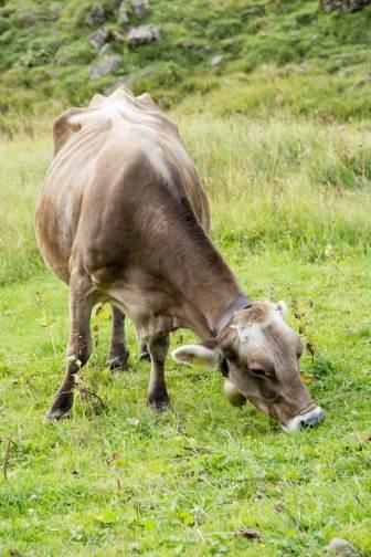 Cows grazing in high Alpine pastures in Austria