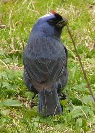 cardenal azul
