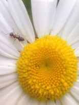 ant party on a daisy.