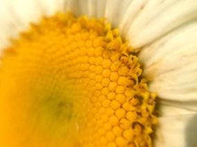 mega daisy