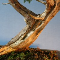 The Harp Common Juniper