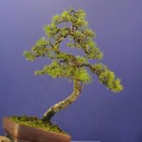 Scots Pine Re-pot