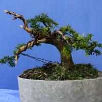Shohin Yew First Pot