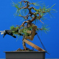 Small Scots Pine