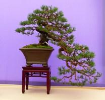 cascade-scots-pine