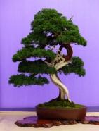 informal-upright-juniper