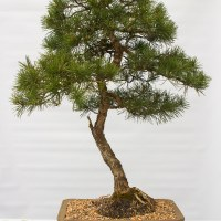 Scots Pine Progress (Pinus Sylvestris)bonsai