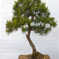 Tall Scots Pine Update
