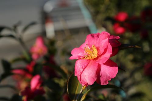 椿-Camellia