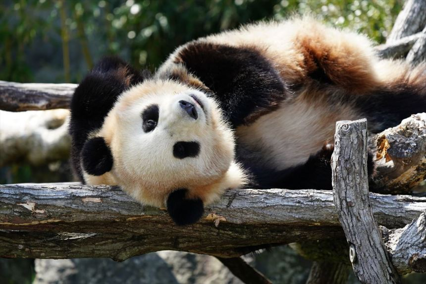 上野 動物園 デイパン 【デイパン】臨時休園中の上野動物園が「ジャイアントパンダ」の様子を流してくれてるぞ!