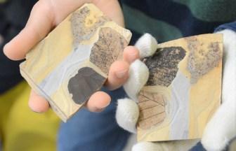 化石掘り 体験 割る 葉の化石