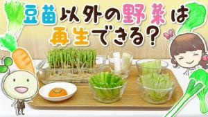 再生野菜 自由研究