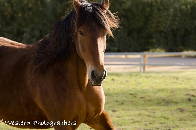 Summerwind_Marchador_horse_3