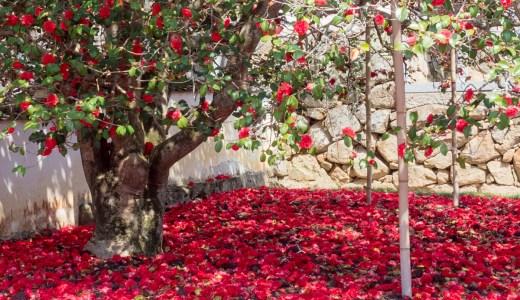 【圀勝寺の八重椿】矢掛町東三成〜深紅の絨毯!見頃は4月上〜中旬