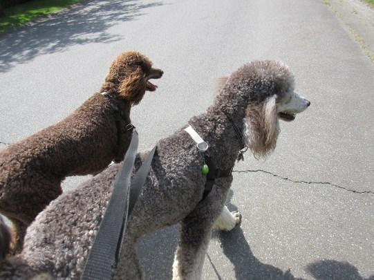 Surrey Langley dog walking