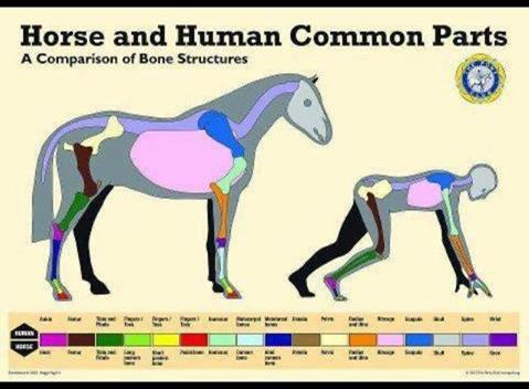 horse human common parts