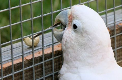 Goffin's cockatoo named Figaro