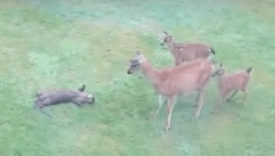 Otter plays with deer
