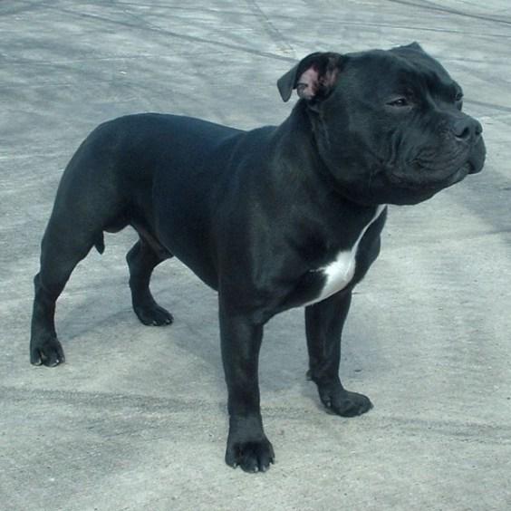 Staffordshire_Bull_Terrier