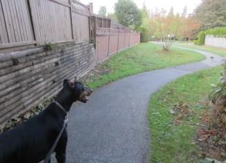 Surrey dog walking