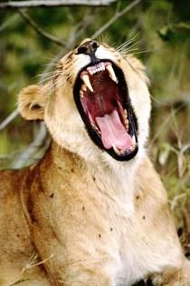 Lioness - Yawn